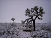 Joshua Tree, Picture of the Joshua Tree