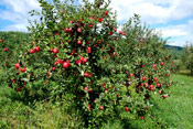 Pictures of an Apple Trees: Apple Fruit Tree with Ripe Red Apple Fruit