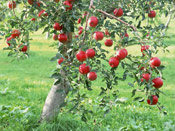 Apple Tree Fruit, Photo of a Red Apples on an Apple Tree