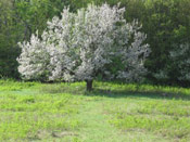 Pictures of Apple Trees: Tree in Flower