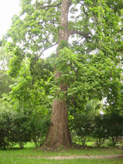 Big Catalpa Tree