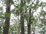 black locust trees