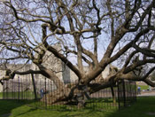 Catalpa Tree Image