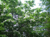Catalpa Tree Branches