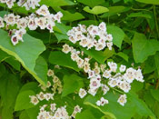 Catalpa Tree in Flower