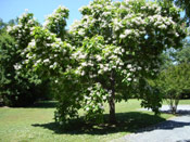 Catalpa Tree Picture