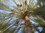 Date Palm Tree Pic