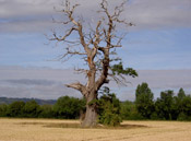 Tree Picture, Dying Oak Tree Image