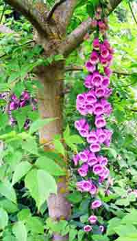 Tree Image, Foxglove Tree Blooms Photograph