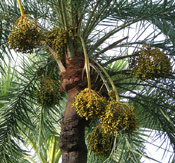 Date Palm Fruit