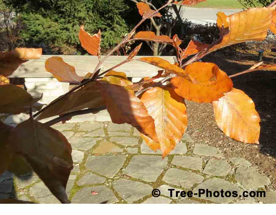 Beech Leaf: Purple Beech Tree Leaves in Autumn