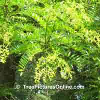 Honey Locust New Leaf Growth Image
