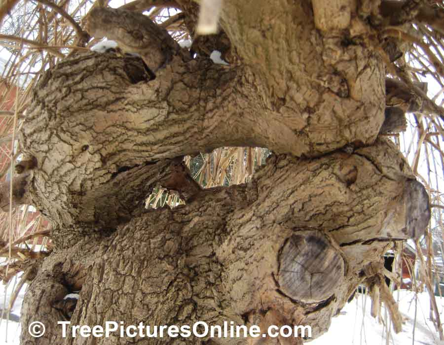 Mulberry Tree: Wood, Bark, Trunk of Mulberry Trees Picture | TreePicturesOnline.com