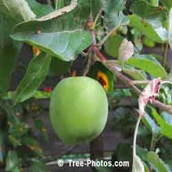 Apple Tree Pictures: Luscious Green Cortland Apple Ready For Picking | Apple:Tree:Fruit @ TreePicturesOnline.com