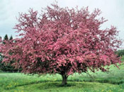 Apple Tree, Apples Pink Spring Blossoms | Tree+Apple+Blossoms @ Tree-Pictures.com