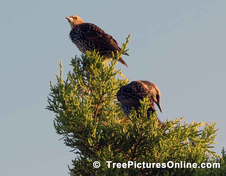 Tree Pictures, Pair of Cedars Photo