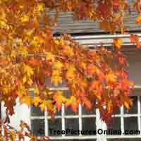 Maple Leaves: Maple Trees in the Autumn | Tree:Maple+Leaves @ TreePicturesOnline.com