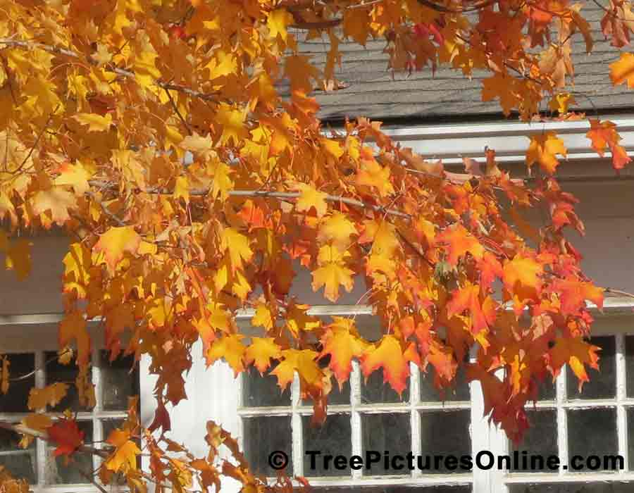 Maple: Maple Leaves in the Autumn