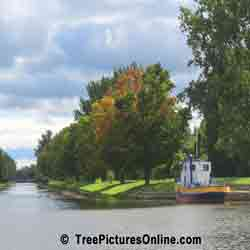 Maple: Maple Trees on the Canal; Peterborough, Ontario, Canada | Tree:Maple @ TreePicturesOnline.com