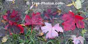 Trees: Maple Tree Leaves in Fall Puddle Image