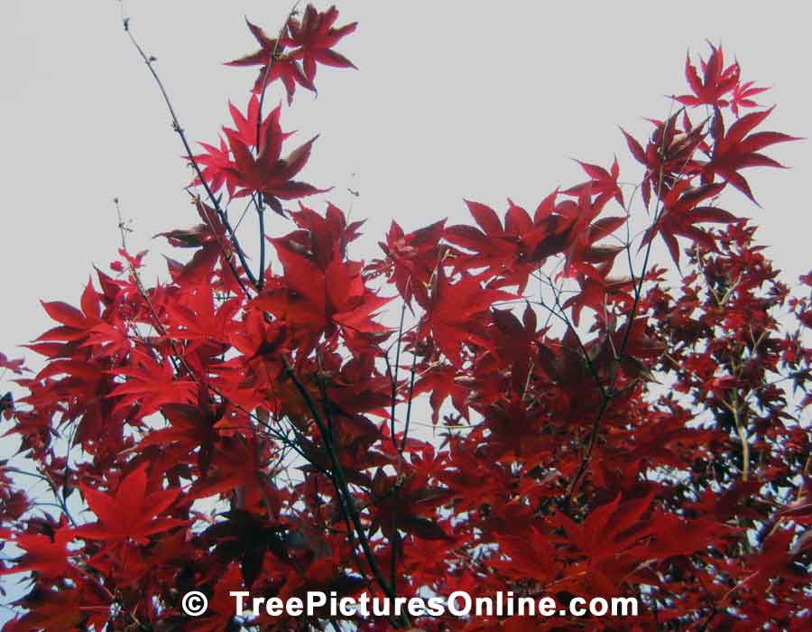 Japanese Maple Tree Leaves in the Height of Color