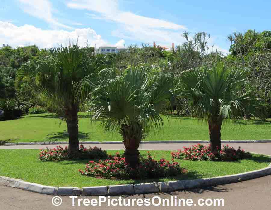 Palm Tree: 3 Palm Trees Used in Landscape Design