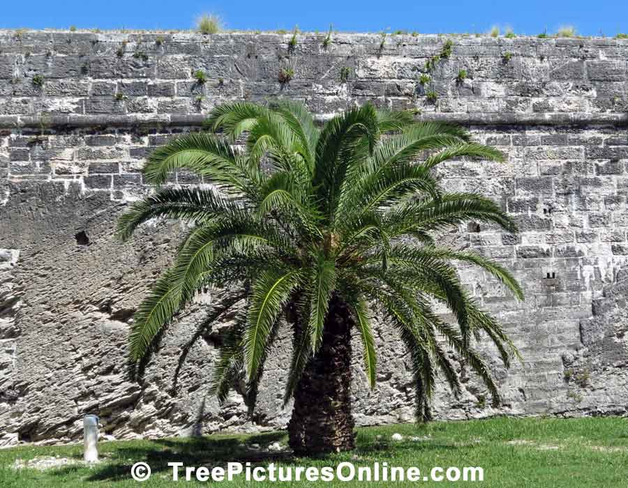 Palm; Palm Tree at DockYards Fort