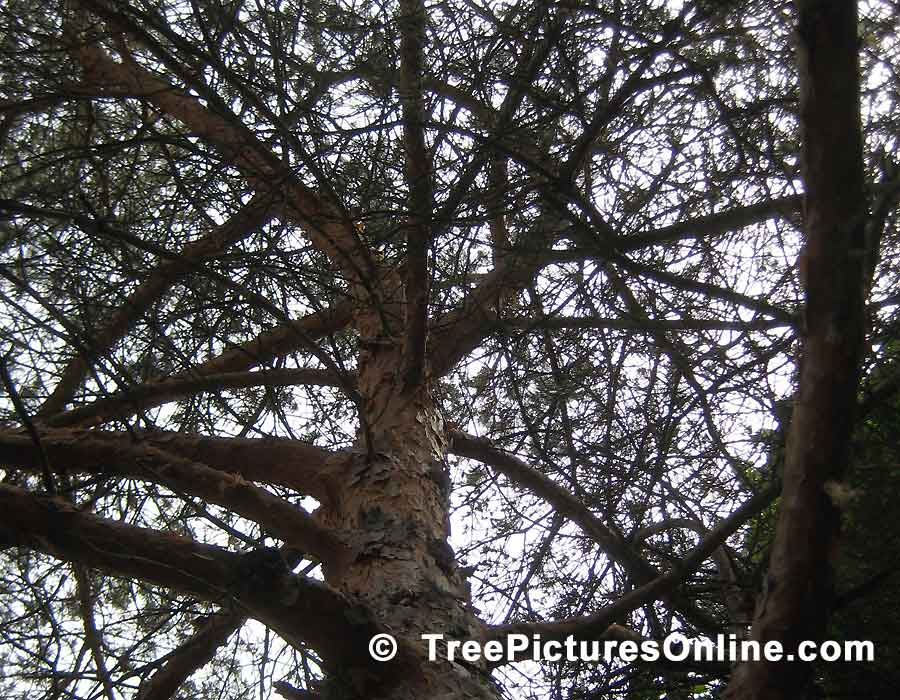 Pine, Picture of Scotch Pine, Tree Trunk & Branches