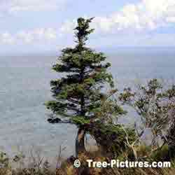 Pine: Pine Tree on Bay of Fundy, New Brunswick, Canada | Tree:Pine @ TreePicturesOnline.com