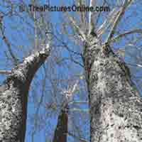 Tree Sycamore: Trunk Bark of Big Sycamore Tree | Tree:Sycamore+Trunk+Bark @ TreePicturesOnline.com
