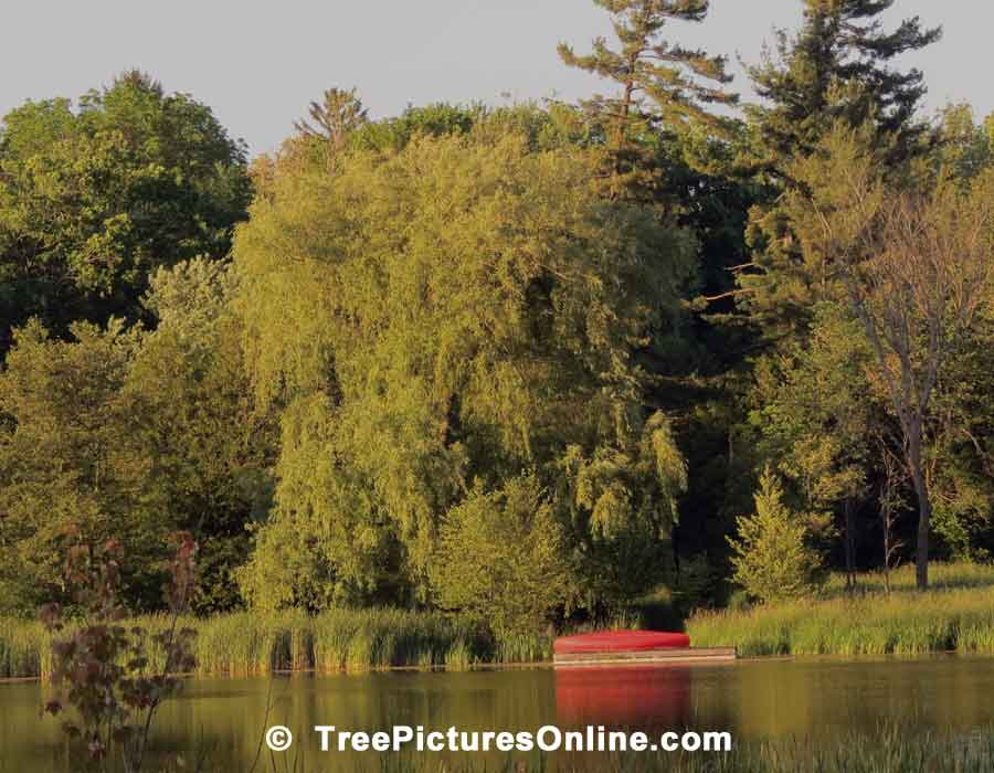 Willows: Large Willow Tree by the Lake