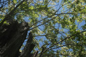Locust Trees: Picture of Locust Tree Branches