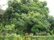 mango tree picture