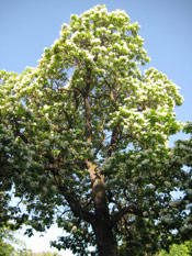Nice Catalpa Tree