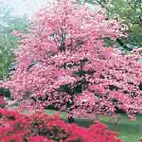 Dogwood Tree: Pretty Pink Dogwood Tree Pic | Tree:Dogwood+Flower @ TreePicturesOnline.com