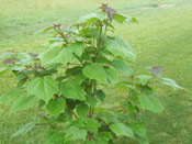 Small Catalpa Tree