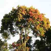 Large Cinnamon Tree: Scientific name is Cinnamomum Zeylanicum | Tree: Cinnamon @ TreePicturesOnline.com