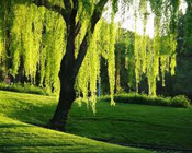 willow tree pic